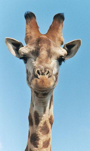 giraffe-head-brutaltimes.jpg
